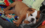 Edwige the small English bulldog