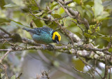 Saffron-crowned-Tanager.jpg