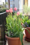 Spring Tulips 2010