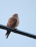 American Kestrel, Female