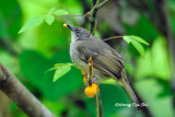 (Pycnonotus plumosus hachisukae) Olive-winged Bulbul