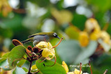 (Zosterops atricapilla) *Black-capped White-eye