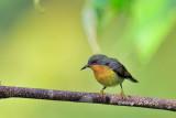 (Chalcoparia singalensis) Rubycheek ♀