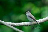 (Muscicapa dauurica) Asian Brown Flycatcher