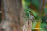 (Arachnothera everetti) Bornean Spiderhunter