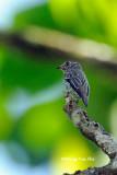 (Muscicapa sibirica) Dark-sided Flycatcher