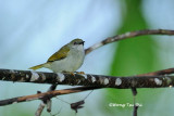 (Anthreptes simplex) Plain Sunbird ♀