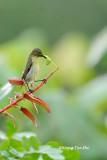 (Anthreptes rhodolaema) Red-throated Sunbird ♀