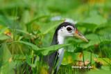(Amaurornis phoenicurus) White-breasted Waterhen