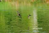 (Aerodramus  maximus)  Black-nest Swiftlet