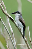 (Hemipus hirundinaceus)Black-winged Flycatcher-shrike ♀