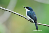 (Hemipus hirundinaceus)Black-winged Flycatcher-shrike ♂