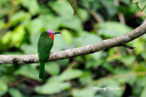 (Nyctyornis amictus) Red-bearded Bee-eater ♂