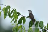 (Cacomantis merulinus) Plaintive Cuckoo