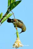 (Aethopyga siparaja) Eastern Crimson Sunbird -Juv