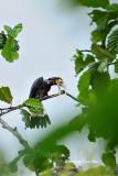 (Anorrhinus galeritus) Bushy-crested Hormbill Juvenile