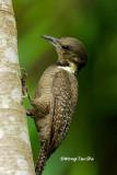 (Meiglyptes tukki tukki)Buff-necked Woodpecker ♀