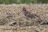 (Gallinago gallinago) Common Snipe