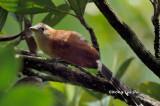 (Phaenicophaeus chlorophaeus) Raffle's Malkoha Juvenile
