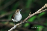 (Trichastoma rostratum macropterum)White Chested Babbler