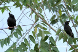 (Acridotheres cristatellus)Crested Myna