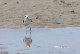(Charadrius peronii) Malaysian Plover ♀