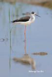 (Himantopus himantopus) Black-winged Stilt