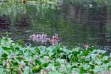 (Dendrocygna arcuata arcuata) Wandering Whistling Duck