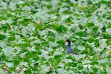 (Porphyrio porphyrio) Purple Swamphen