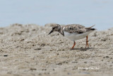 (Arenaria interpres) Ruddy Turnstone - Non-breeding Male