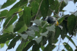 (Pycnonotus squamatus) Scaly-breasted Bulbul