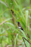 (Lonchura leucogastra) White-bellied Munia
