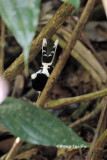 (Enicurus leschenaulti) White-crowned Forktail