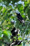 (Aceros comatus) White-crowned Hornbill ♂♀