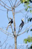(Anthracoceros albirostris convexus) Oriental Pied Hornbill  ♂♀