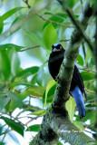 (Irena puella criniger) Asian Fairy Bluebird ♂