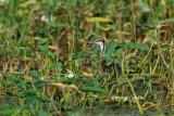 (Hydrophasianus chirurgus) Pheasant-tailed Jacana
