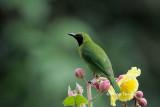 (Chloropsis cyanopogon) Lesser Green Leafbird ♂