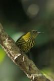 (Hypogramma hypogrammicum) Purple-naped Sunbird ♂