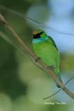 (Megalaima henricii) Yellow-crowned Barbet