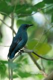 (Irena puella criniger) Asian Fairy Bluebird ♀