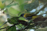 (Pycnonotus cyaninventris) Grey-bellied Bulbul