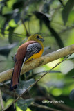 (Harpactes oreskios) Orange-breasted Trogon ♂