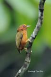 (Sasia abnormis abnormis)Rufous Piculet ♂