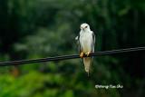 (Elanus caeruleus)Black-winged Kite