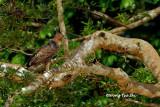 (Spizaetus nanus nanus)Wallace's Hawk-eagle