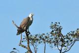 (Haliaeetus leucogaster)White-bellied Sea Eagle