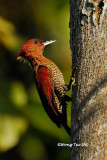 (Picus miniaceus)Banded Woodpecker ♂