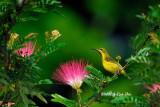 (Nectarinia jugularis ornata) Olive-backed Sunbird Eclipse ♂