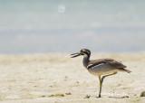 (Esacus magnirostris) Beach Stone Curlew